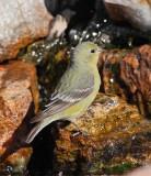 Lesser Goldfinch (Female) (1226)