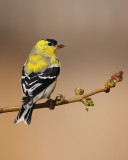 American Goldfinch (5665)