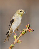 American Goldfinch (5733)