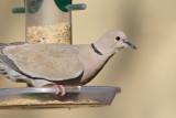 Eurasian Collared-Dove on Feeder (6204)