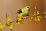 American Goldfinch (6247)