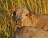 Cow (2255)