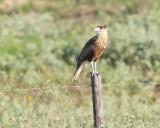Crested Caracara (2473)