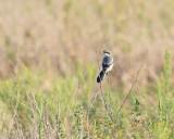 Loggerhead Shrike (2353)