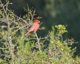 Northern Cardinal (2699)