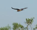 Northern Harrier Juvenile (2416)