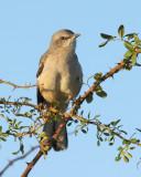 Northern Mockingbird (2284)