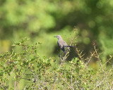 Northern Mockingbird (2678)
