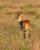 Whitetail Deer (2252)