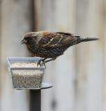 Red-winged Blackbird (6383)