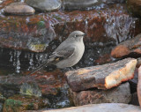 Townsend's Solitaire (6443)