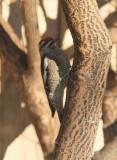 Red-naped Sapsucker (5955)