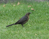 Great-tailed Grackle Female (6356)