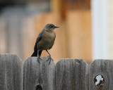 Great-tailed Grackle (Female) (6362)