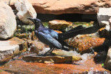Great-tailed Grackle (Male) (8885)
