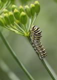 Caterpillar(5546)