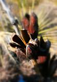 Yucca Pods.jpg