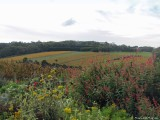 Vineyard in autumn colours