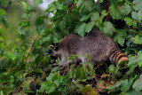 Raccoon foraging on wild grapes