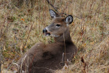 White-tailed Deer at rest in meadow