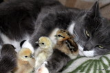 Female cat  with chicks - Mulle (  Hunkat med kyllinger )