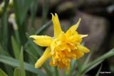 Narsissus Rip van Winkle