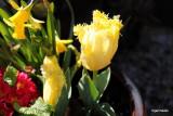 Tulipa Hillstar