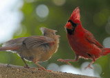 Northern Cardinal feeding fledgling