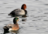 American Wigeon and Redhead Duck