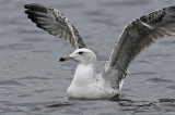 Caspian Gull 2e winter 1