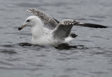 Caspian Gull 2e winter 2