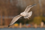 Caspian Gull 4e winter 4