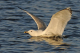 Caspian Gull 4e winter 7