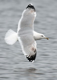 Caspian Gull 4e winter 10