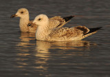 Caspian Gull 1e winter 5