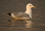 Caspian Gull 4e winter 13