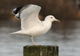 Caspian Gull 4e winter 15