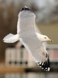 Caspian Gull 4e winter 17