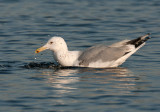 Caspian Gull 3e winter 4