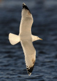 Caspian Gull 4e winter 21