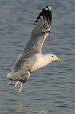 Caspian Gull 3e winter 5