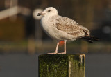 Caspian Gull 1e winter 11