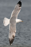 Caspian-gull-third-winter-.jpg