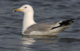 caspian-gull-third-winter-2.jpg