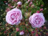 DSC09071 Champneys Pink Cluster.JPG