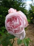 DSC09260 Perle d'Amour.JPG