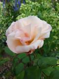 DSC09334 Mme Henri Grimm.JPG