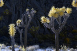 Joshua Tree National Park in Infrared