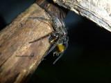 Nursery-web spider eating frog