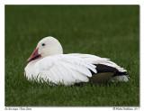 Oie des neiges  Snow Goose